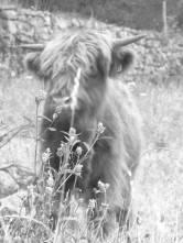 highland-calf