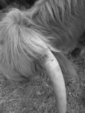 higland-cow-horn