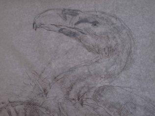 vautour fauve détail